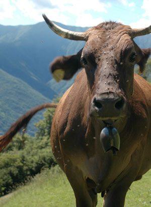 A cow in Nava in the mountains above Griante